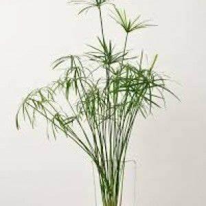 Bouture Plante Verte : comment cultiver un papyrus en int rieur jardinage jardinage jardins et plante jardin ~ Melissatoandfro.com Idées de Décoration