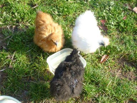 comment faire couver une poule