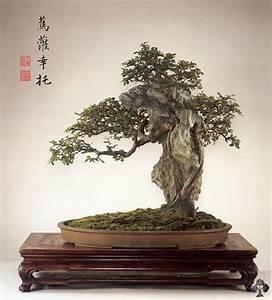 Bonsai Chinesische Ulme : chinesische ulme bonsai ulmus parviflora bonsai empire ~ Sanjose-hotels-ca.com Haus und Dekorationen