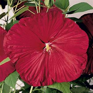 Riesen Hibiskus Kaufen : riesen stauden hibiskus 39 fireball 39 mit bildern hibiskus ~ Watch28wear.com Haus und Dekorationen