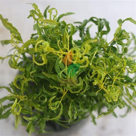 jual tanaman hias brokoli hijau stek cm agro bibit id