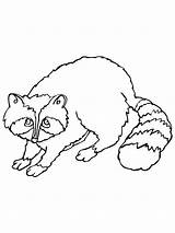 Raccoon Coloring Pages Printable Sheet Sheets Cartoon Getcoloringpages Coloringme Animal Library Clipart Bestcoloringpagesforkids Results sketch template