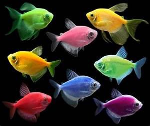 Long Fin Electric Green GloFish Tetra Buy GloFish