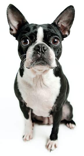 dog food  boston terriers ultimate buyers guide