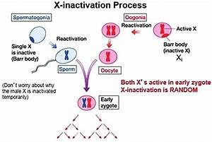 X Chromosome Inactivation  Reproduced From S