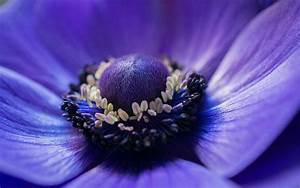 Anemone blue flower macro photography wallpaper | flowers ...