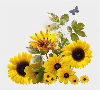 Sunflower Border Girassol Clipart Transparent Corner Sunflowers