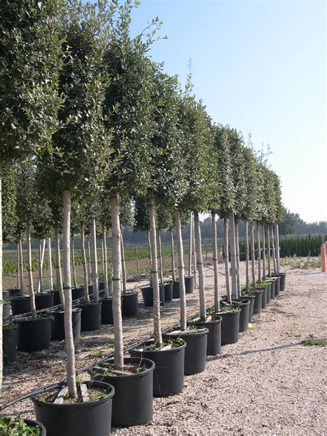 chene vert en pot pepiniere ch 234 ne vert en italie quercus ilex
