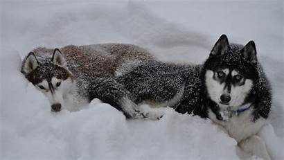 Siberian Huskies Wallpapers Husky Snow Dogs Winter