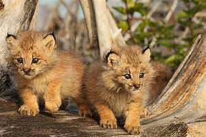 Canadian Lynx Kittens, Alaska Photograph by Robert Postma