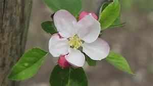 Wann Apfelbaum Pflanzen : der neue apfelbaum bl ht auch friedrichs gartenjahr ~ Lizthompson.info Haus und Dekorationen
