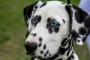 dog breeds can blue eyes