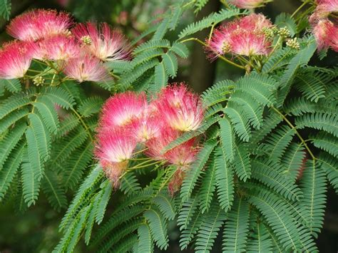 Image result for silk tree