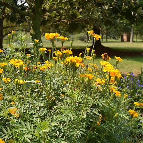 African Marigold Seeds (Tagetes erecta)