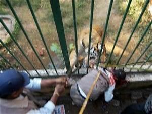 Big Cat Killings, Big Cat Maulings, Big Cat Escapes