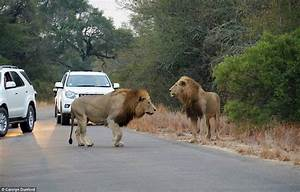 Image Gallery lion attacks in africa
