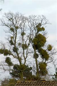 Species of UK: Week 4: Mistletoe (Viscum album)