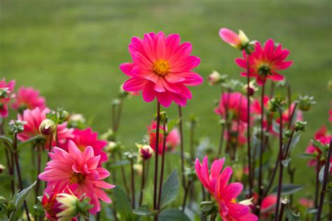 free pictures of flowers free stock photo of flowers nature pink
