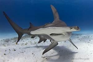 Hammerhead Sharks Eating People