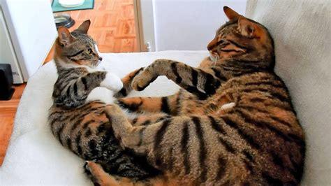 Male Cat Vs Female Kitten Youtube