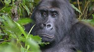 World U0026 39 S Largest Ape Listed As Critically Endangered