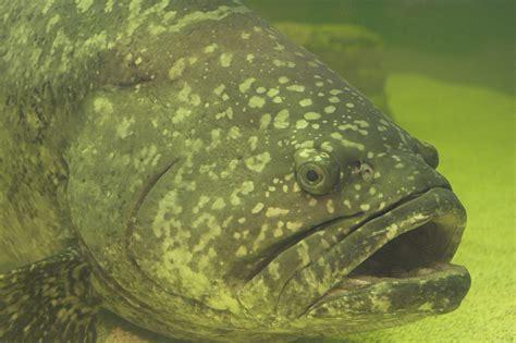 grouper goliath fish gordon florida file eating fishing commons juvenile safer ordering twice wikipedia bad think sonar wikimedia atlantic epinephelus