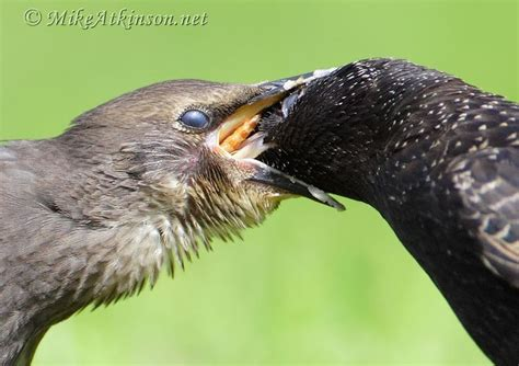 1000 images about european starlings on pinterest