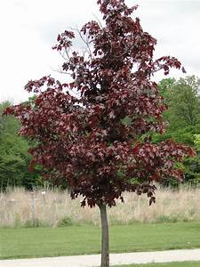 Acer platanoides (Norway Maple) | A Fascinating Green World  Maple