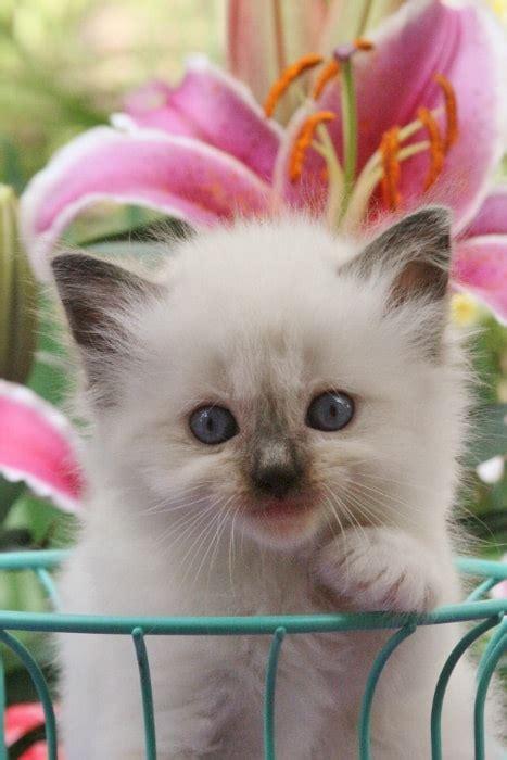 Kitten For Sale by Usa Ragdolls Ragdoll Kittens For Sale 500 Sale
