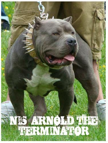 huge  pound xxl large male pitbulls bully xtreme