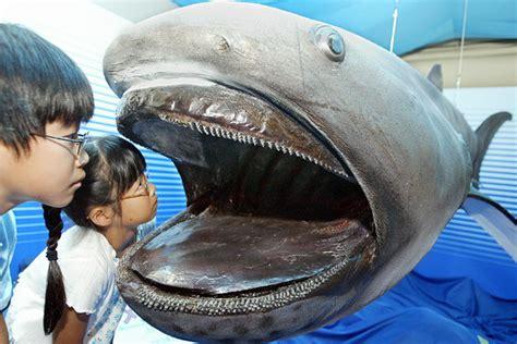 fossilized megamouth shark tooth   okinawa