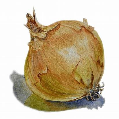 Onion Irina Sztukowski Painting Fruit Paintings Legumes
