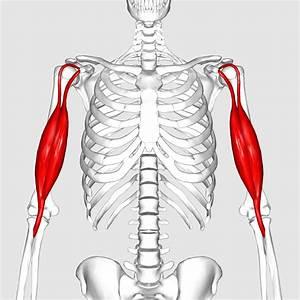 Diagram Of Biceps Brachii