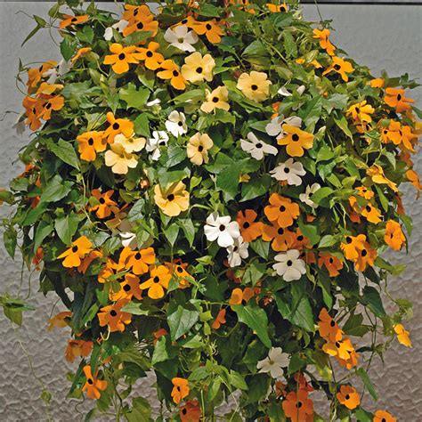 flower vines plants flowers 187 thunbergia alata