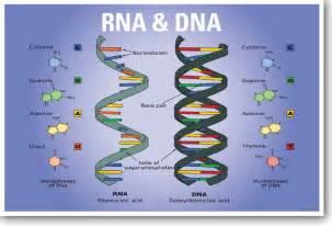 Biology DNA and RNA