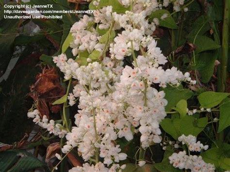 Plantfiles Pictures Antigonon, White Coral Vine, White