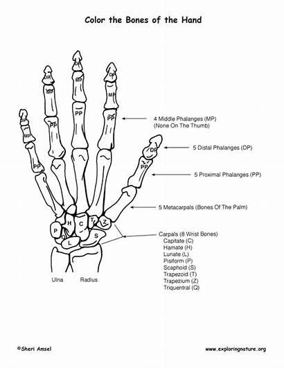 Coloring Hand Bones Bony Features Anatomy Skeletal