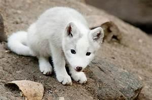 baby arctic fox | Shiro? | Pinterest