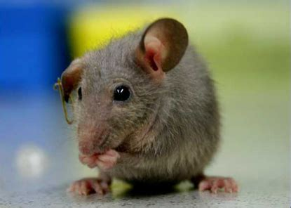 slo pest  termite mice  house mouse mus musculus