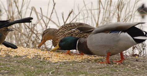 what do mallard ducks eat index of photos the birds j jan 07