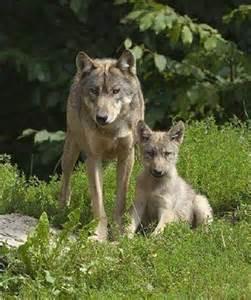 Gray Wolf Pup Running