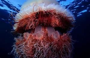 Nomura Jellyfish | therottengenius