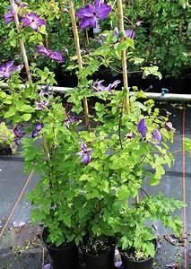 Clematis Pflanzen Kübel : clematis waldrebe 39 aotearo 39 ~ Orissabook.com Haus und Dekorationen