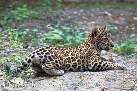 Furry Friday: Coo Over The Jaguar Cub At The Fort Worth Zoo