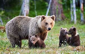 Yellowstone grizzly bears to be removed from endangered ...  Grizzly