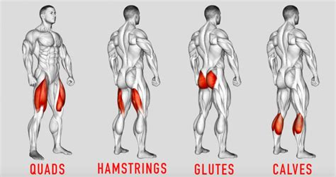 The knee joint, the shin, the calf, the ankle, and the foot. Lower-Body Anatomy for Weightlifters: Leg and Hip Muscles • Bodybuilding Wizard