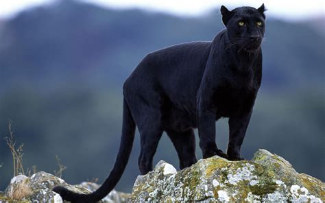 Black Panther  High Definition Wallpaperscool Wallpapers