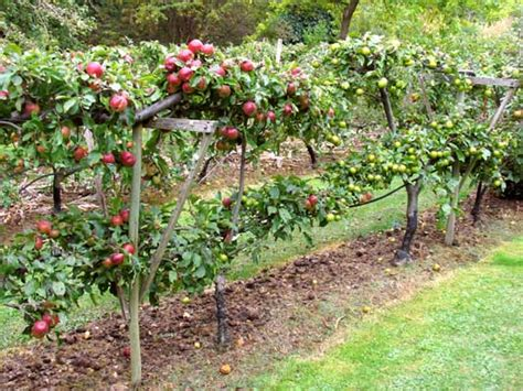 the fruit garden growing fruit and fruit trees