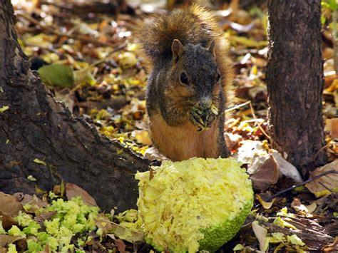 do squirrels like oranges fox squirrel osage orange eater dfw urban wildlife
