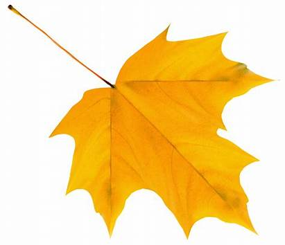Leaf Autumn Yellow Clipart Cartoon Fall Leaves